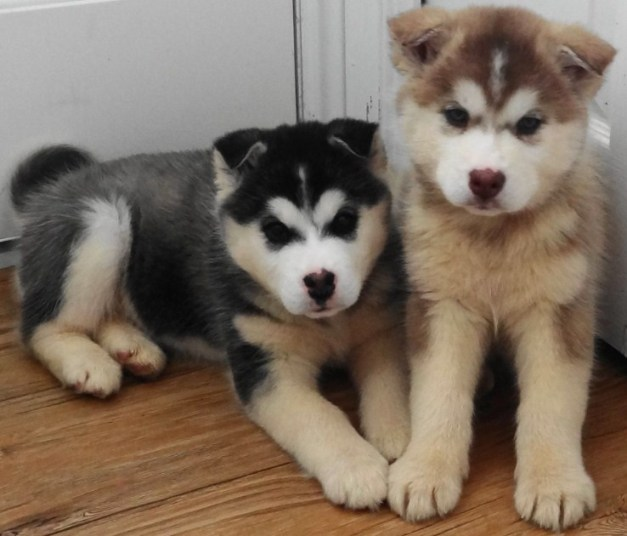 Pomsky Pictures 1
