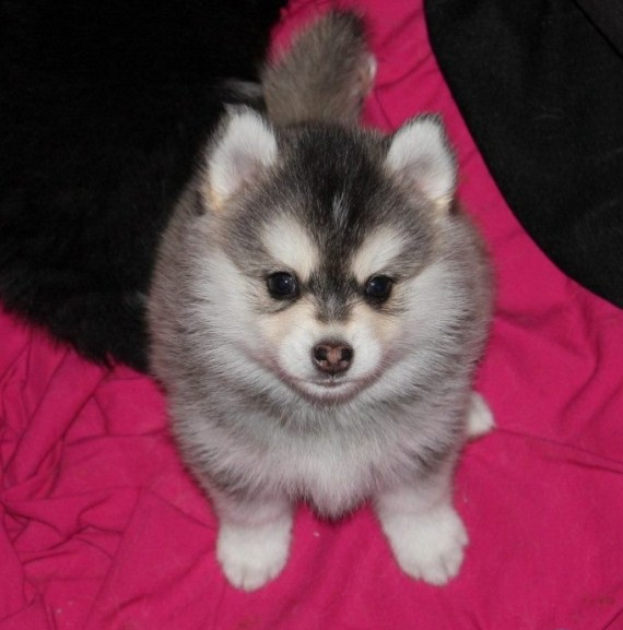 Pomsky Puppies for Sale in Maine 1