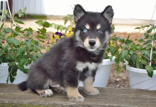 Pomsky Puppies for Sale in Wisconsin 1