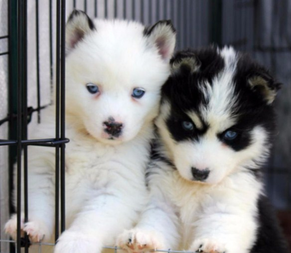 Pomsky for Sale in Oregon 1