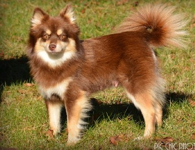 Brown Pomsky 3