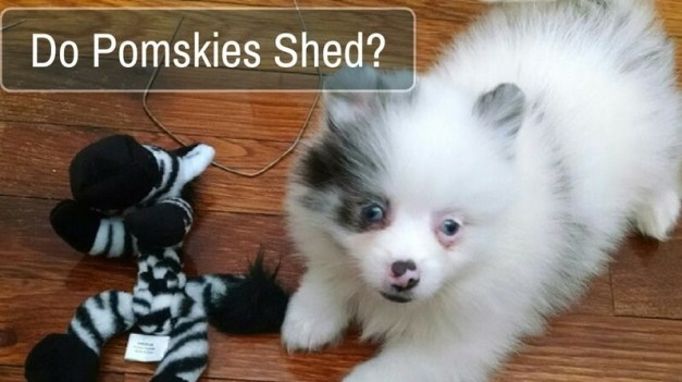 Do Pomskies Shed 2