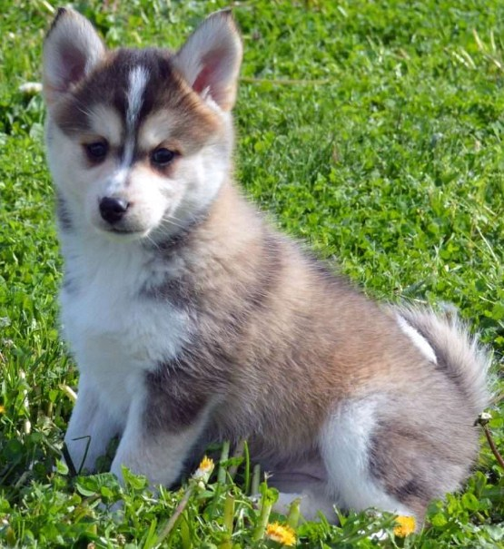 Pics of Pomsky Puppies 2