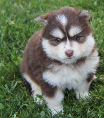 Pomsky Pictures 4