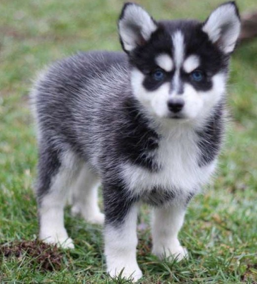 pomeranian husky price pomsky puppies price and information pomsky 4180