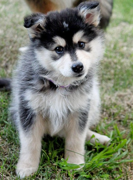 Pomsky Puppies 2