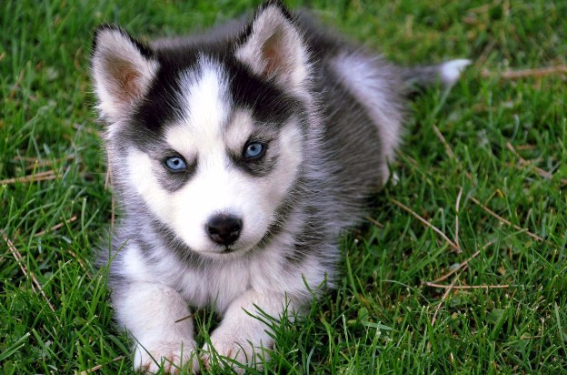 Pomsky Puppies 4