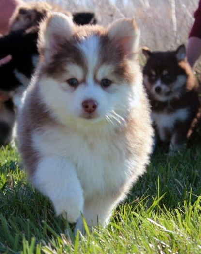 Teacup Pomsky for Sale 1