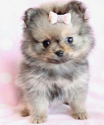 Teacup Pomsky for Sale 2