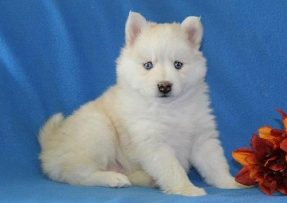What is a Pomsky 1
