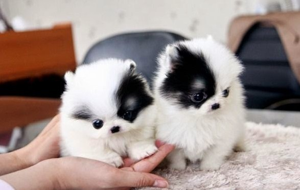 images of Pomsky puppies 1