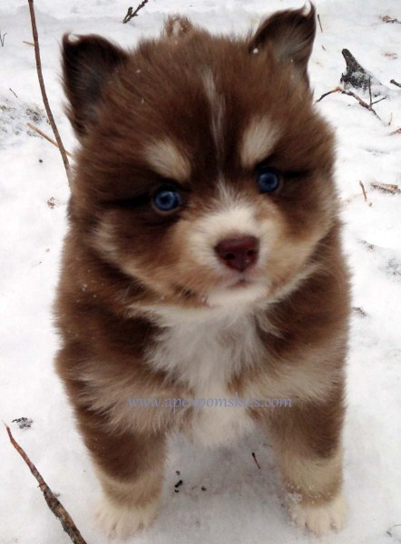 images of Pomsky puppies 3