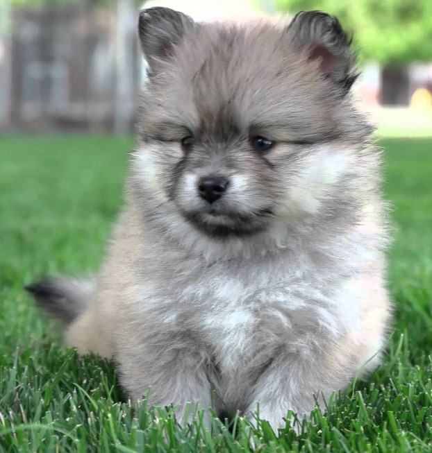 images of Pomsky puppies 4