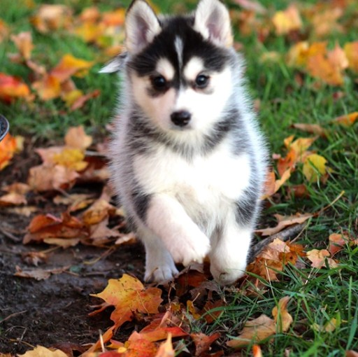 Pomsky Puppies for Sale Chicago 1