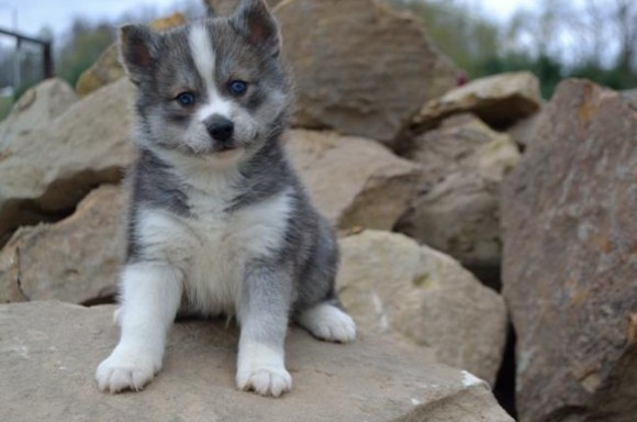 Pomsky Puppies for Sale in Arkansas 2