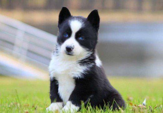 Pomsky Puppies for Sale in Georgia 1