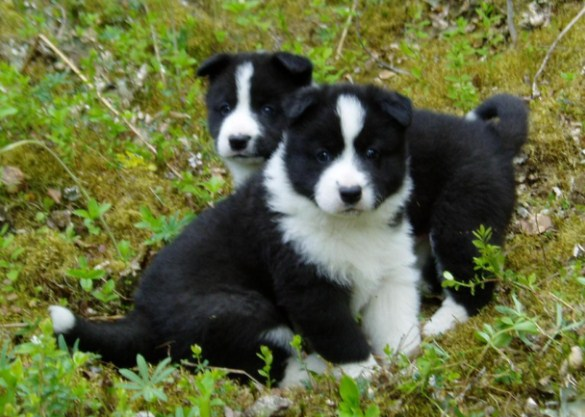 Pomsky Puppies for Sale in Georgia 2