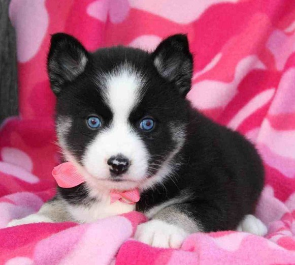 Pomsky Puppies for Sale in Maine 2