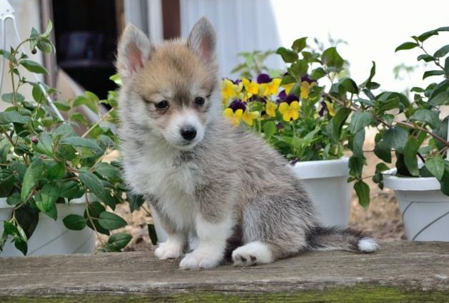 Pomsky Puppies for Sale in Wisconsin 2