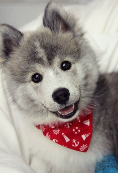 Toy Pomsky for Sale 1
