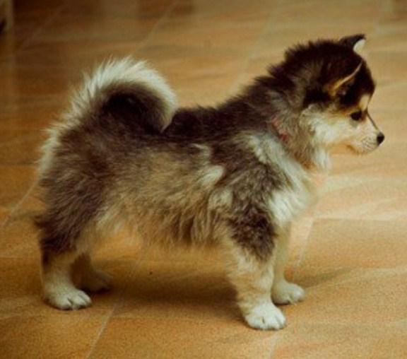 Toy Pomsky for Sale 2